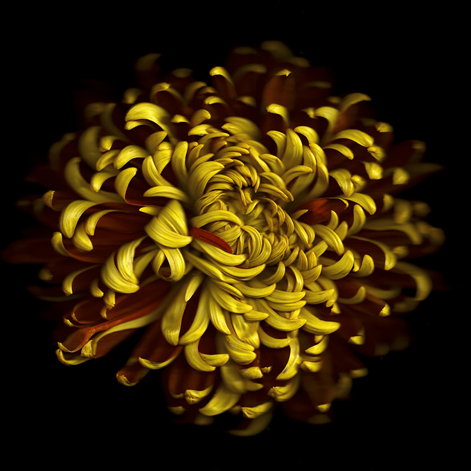 Abstracts& Details - 1st - Chrysanthemum by Gynelle Leon