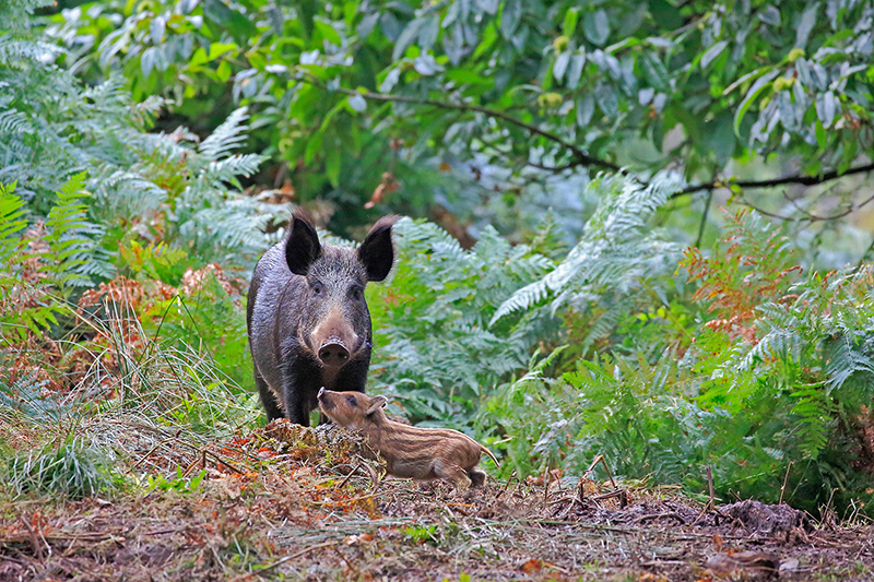 A wild boar and piglet in the Forest of Dean