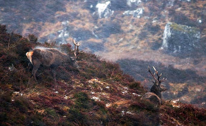 Margaret Walker - 'Red Deer Stags Enduring the Blizzard' Red Deer, Scotland, HABITAT WINNER