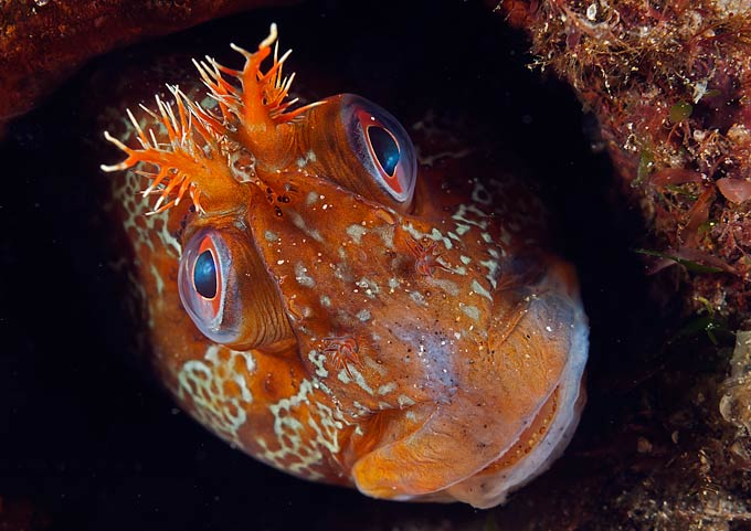 Mark N Thomas, 'Tommy', Tompot Blenny, Trefer Pier, Gwynedd, North Wales, ANIMAL PORTRAITS WINNER
