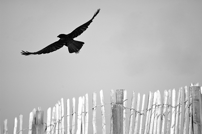 RHS Young Photographer of the Year - Crow in flight by Catherine Sim