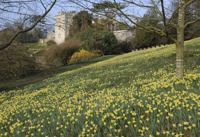 Wild-daffodils-at-Sizergh,-©National-Trust-Images-Val-Corbett