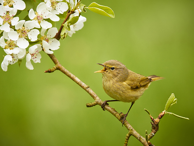 Chiffchaff singing under the blossom