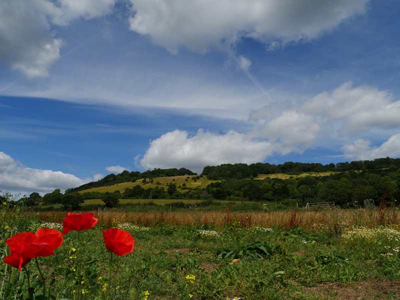 Poppies at Box Hill, Surrey