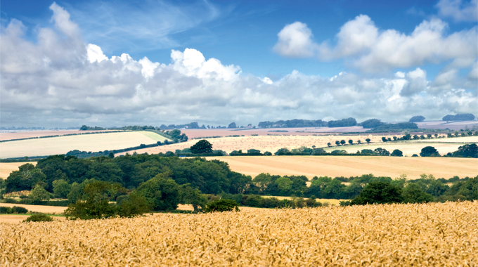 Looking across a wheat field in the rolling hills of the Lincolnshire Wolds