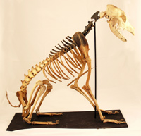 Hatch, the skeleton dog from Mary Rose