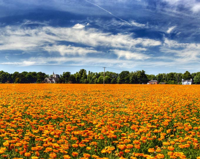 Field of marigolds grown on the Court Lees Estate, Badlesmere Faversham © iStock