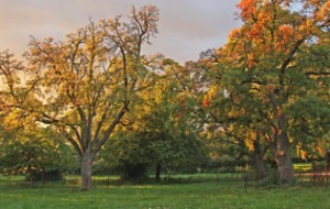 Hereford Orchard