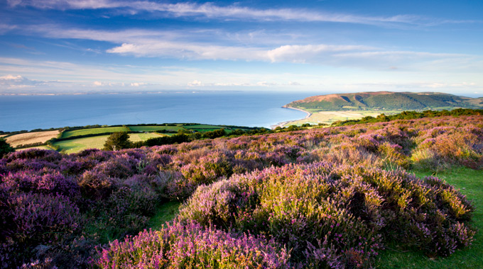 Looking out over flowering heather on Porlock Hill in Exmoor National Park