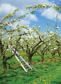Pear blossom in full bloom at Holt Fleet orchard in Worcestershire