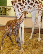 Baby giraffe at Paignton Zoo